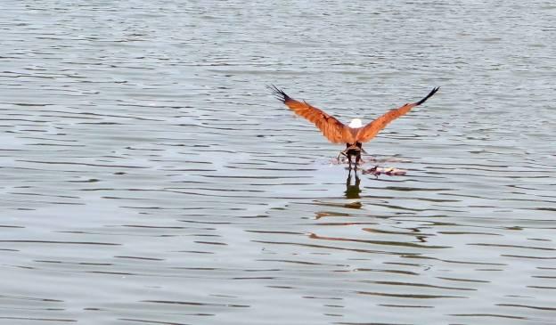 Un aigle plongeur